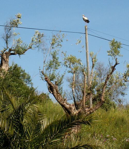 ooievaar-in-een-boom-naast-vakantiehuisje-Palmeira