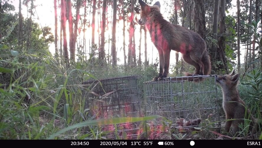 two baby foxes on the cage with meat