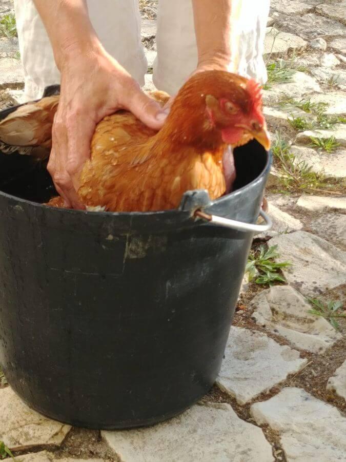 galinha-choca-no-balde